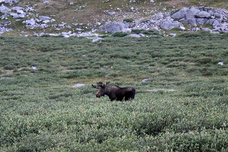 Bull moose, Bighorn Mountains, Mistymoon Lake