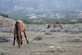 Pryor Mountain Wild Mustang Preserve, Wyoming and Montana