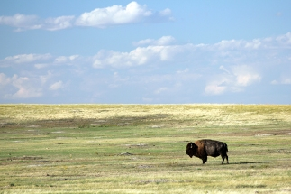 Bison in the Badlands of South Dakota.