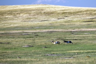 Pronghorns chasing across the Badlands prairie.